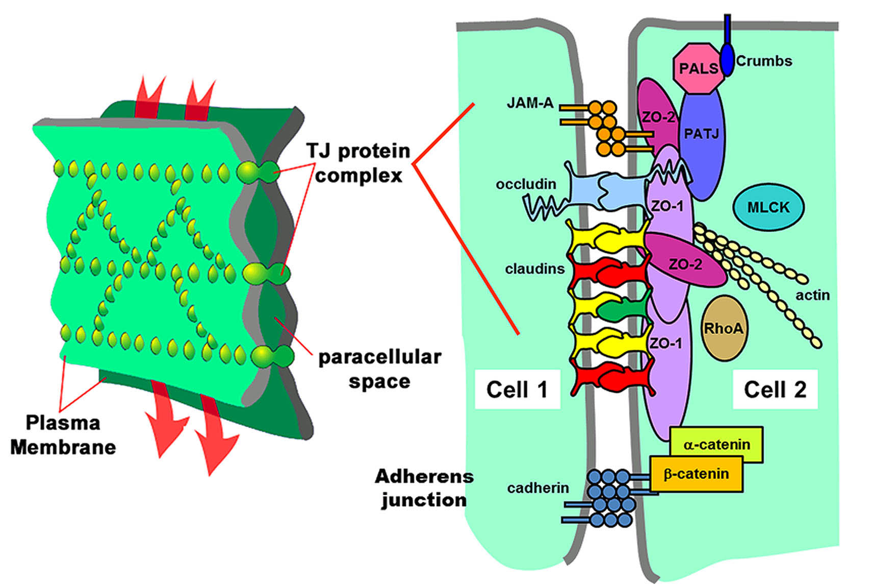 Junctions found at cell-cell contacts